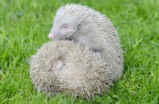 Just LOOK at these extremely rare albino hedgehogs that have just been rescued