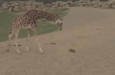 Watch: Curious giraffes try to make friends with a rabbit at Dublin Zoo
