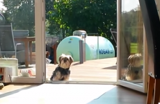 This dog does not understand the concept of doors