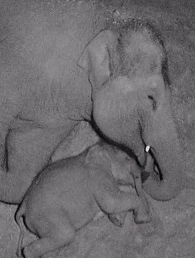 Dublin Zoo's baby elephant caught on camera cuddling up to its mammy will melt your heart