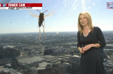 Weather reporter terrified by 'giant bee' live on air