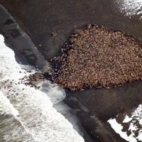 Why are 35,000 walruses gathering on this beach?