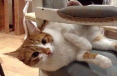 Save the date: Dublin's first cat café hopes to open its doors in September 2015
