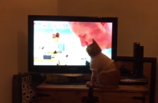 This poorly cat is Great British Bake Off's number one fan