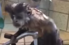 Ah nothing, just a little monkey having a shower in a sink