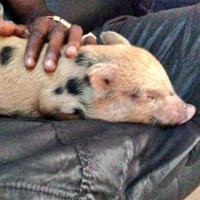 Mario Balotelli's pig barred from entering Britain