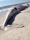 This 58 foot long whale covered in bite marks has washed up in New York