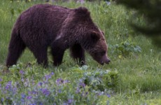 Grizzly bear kills man at Yellowstone Park in US