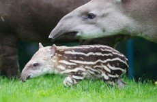 Dublin Zoo to pay €5,000 to charity after mother and child attacked by tapir