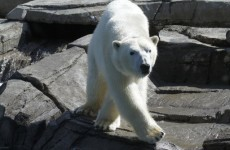Polar bear ancestry traced back to... Ireland?