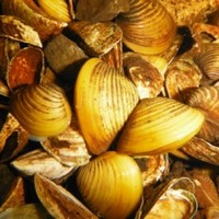 Meet Ireland's latest invader: The Asian Clam