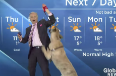 Weatherman tries to read forecast with big excitable dog, chaos ensues