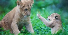 Just LOOK at Dublin Zoo's brand new little lion cub