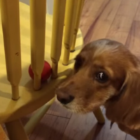 Perplexed dog gets into one-sided battle with chair as he attempts to retrieve his ball