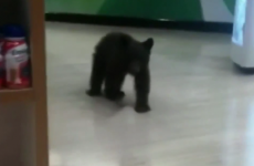 Lost little bear found wandering around US pharmacy
