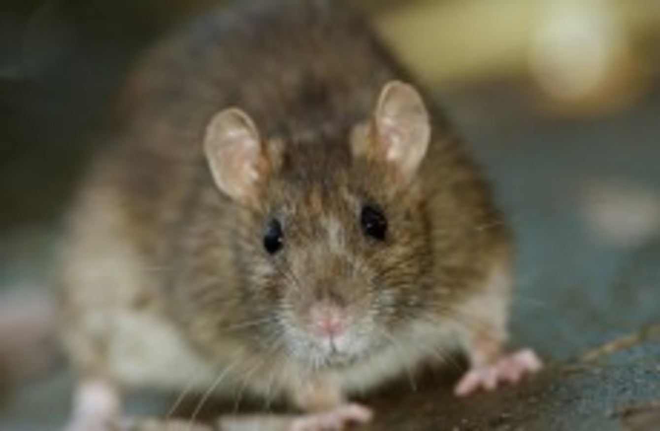 Rise in construction causing rats to come up from sewers and
