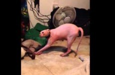 This Sphynx cat getting a Halloween scare is the oddest thing you'll see today