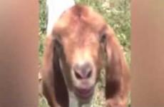 Goat says 'wot wot'