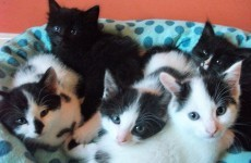 A UK animal shelter is looking for 'kitten cuddlers' to hug its cats