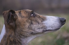 UCD ends practice of buying greyhounds for medical experiments