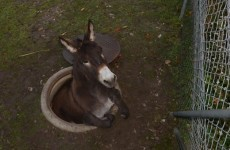 This donkey got stuck in a manhole and it is super unimpressed