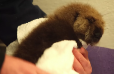 Watch this adorable orphaned baby sea otter learn how to swim