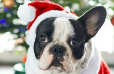 'A dog is for life', so why do people continue to give them as presents?