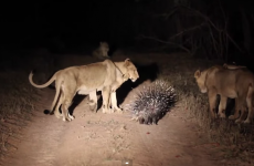 Tiny porcupine successfully fights off 17 curious lions