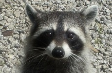 On-the-run raccoon taken into police custody