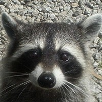 On-the-run raccoon taken into police custody