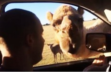 Sassy camel has no boundaries, steals food from tourist's car
