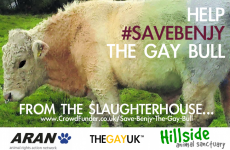 You can help save Benjy the gay bull from the slaughterhouse