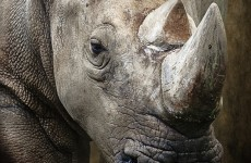 Zookeeper seriously injured in rhino attack at British zoo