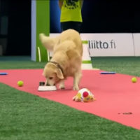 Watch this golden retriever hilariously fail an obedience test