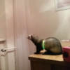 You're definitely going to root for this little ferret taking a leap of faith