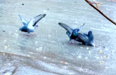 Very confused pigeons try to walk on ice