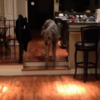 Walter the giant Irish wolfhound conquers his fear of two tiny steps