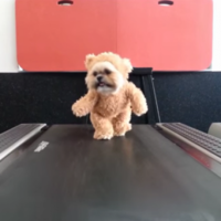 Just a dog, wearing a teddy bear costume, running on a treadmill