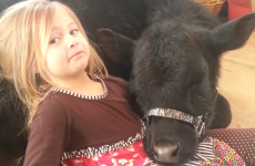This five-year-old girl let a cow into the house without her mum knowing