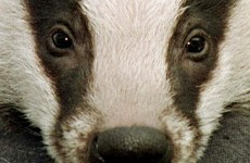 Hospital screens for tuberculosis as UK prepares for badger cull