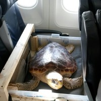 A turtle that washed up on a beach in Clare is being flown to Gran Canaria