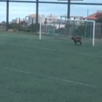 Without being too hyperbolic, this goat is definitely a better keeper than Simon Mignolet