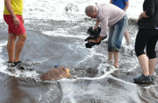Leona --- the stranded Clare turtle --- is over her jetlag, and swimming free