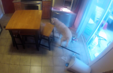 Cheeky labrador caught on camera stealing food from the fridge