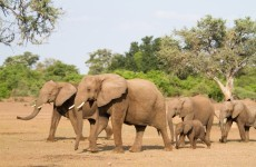Thousands of elephants are killed in Africa every year - and China is partly to blame