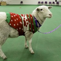 A sheep wearing a Christmas jumper was found wandering around a US town