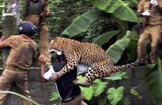 Watch: Dramatic scenes as leopard attacks villagers and guards in India