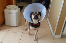 Cute puppy dons Cone of Shame, conveniently forgets how to walk until it comes off