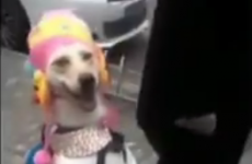 This dog dressed as little girl is definitely the weirdest thing you'll see today
