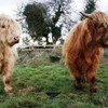 These hairy cows are a rare butterfly's best friend... here's why: